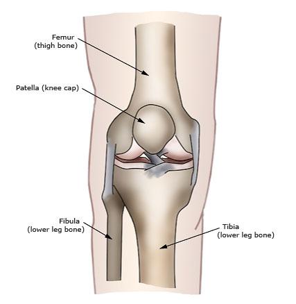 Basic Knee Anatomy Pi Uptodate